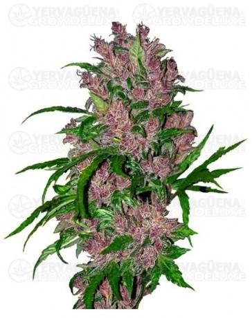 purple-bud-auto-marihuana-morada