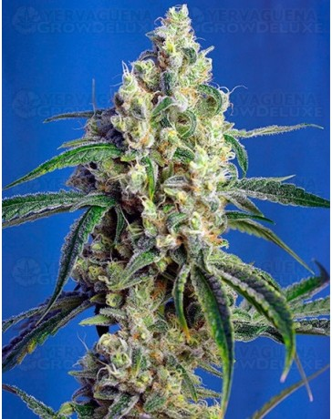 Green Poison CBD Sweet Seeds
