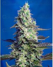 Green Poison XL Auto Sweet Seeds