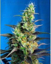 Ice Cool CBD Sweet Seeds