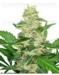 Super Skunk auto Sensi Seeds autofloreciente outlet