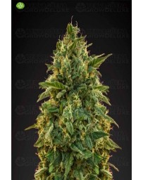 Amnesia Advanced Seeds