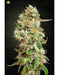 King´s Kush Auto CBD Green House