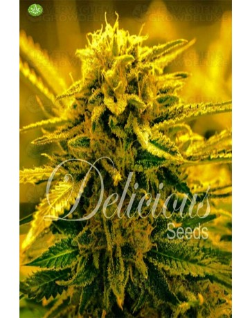 Sugar Black Rose Auto  de Delicious Seeds