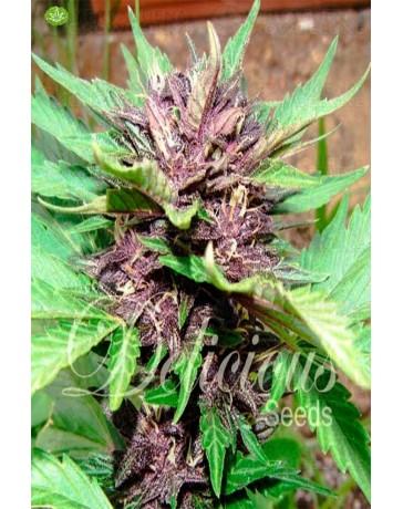 Auto Dark Purple de Delicious Seeds