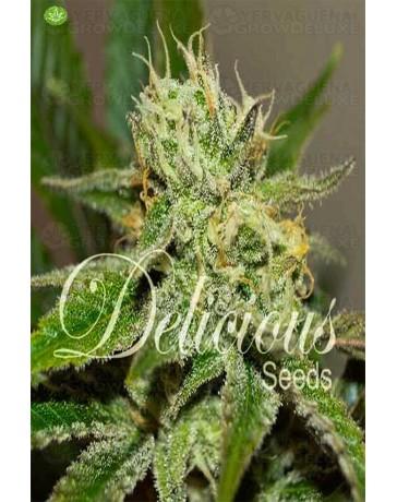 Original Juan Herer de Delicious Seeds