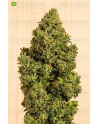 Blue Dream CBD Humboldt Seeds