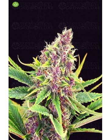Purple Kush de Kannabia
