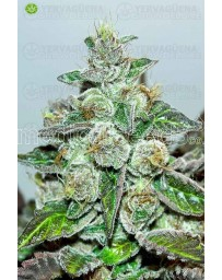 Mendocino Purple Kush  Medical Seeds