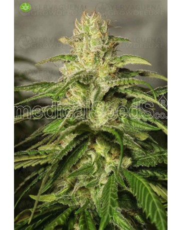OG Kush CBD  Medical Seeds