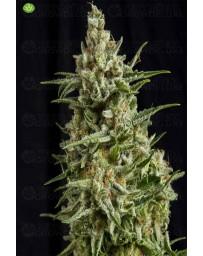 Anestesia CBD   Pyramid Seeds