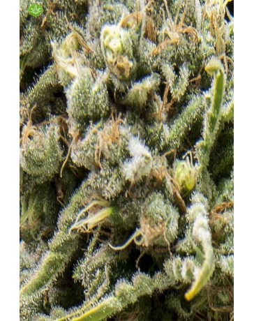 Auto White Widow CBD Pyramid Seeds