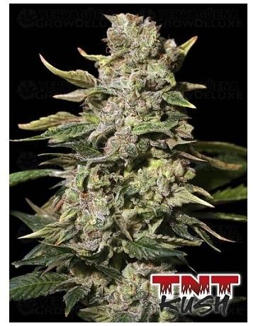 TNT Kush Eva Seeds