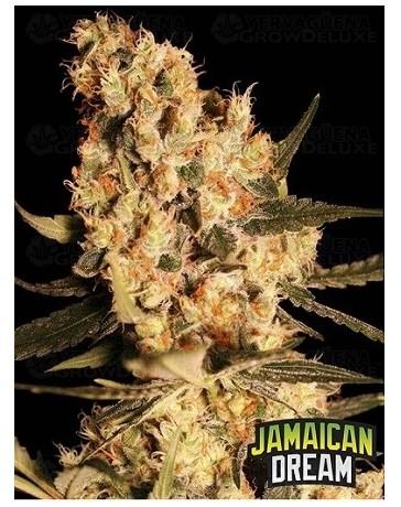 Jamaican Dream Eva Seeds