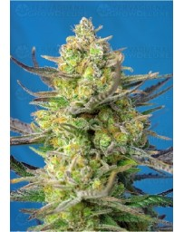 Sweet Cheese XL Auto Sweet Seeds Autofloreciente
