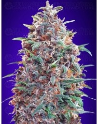 Auto Purple Diesel Advanced Seeds Autofloreciente