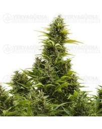 Medikit Buddha Seeds Autofloreciente