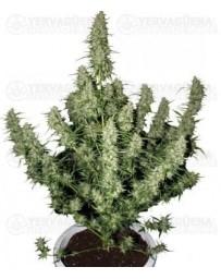Magnum Buddha Seeds autofloreciente