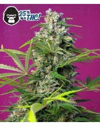 Gorilla Girl Sweet Seeds