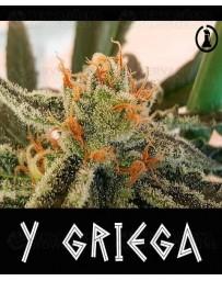 Y Griega Medical Seeds
