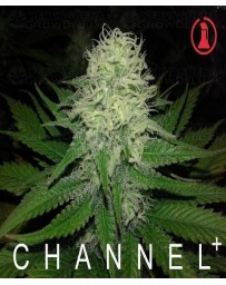 Chanel + Medical Seeds