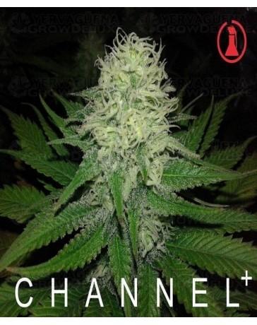 Chanel + Medical Seeds