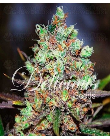 Cotton Candy Kush Delicious Seeds