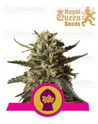 Bubblegum XL Royal Queen