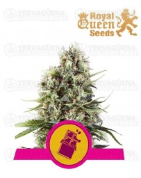 Chocolate Haze Royal Queen
