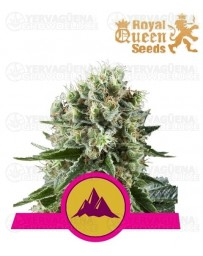 Critical Kush Royal Queen