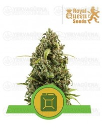Diesel Auto Royal Queen Autofloreciente