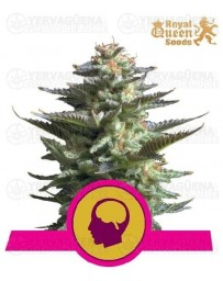 Amnesia Haze Royal Queen