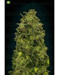 Auto Afghan Skunk Advanced Seeds Outlet