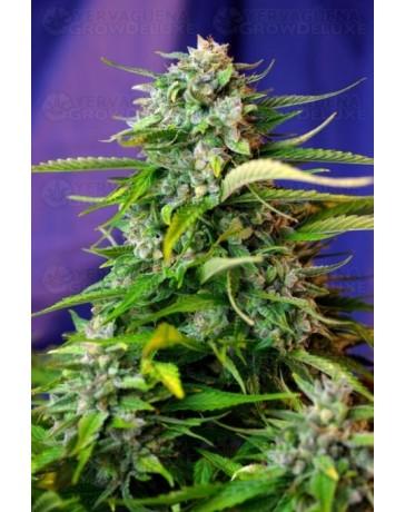 Jack 47 Auto Sweet Seeds autofloreciente