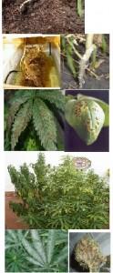 Plagas y hongos en el cultivo