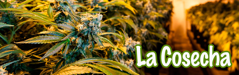 Cuándo cosechar marihuana