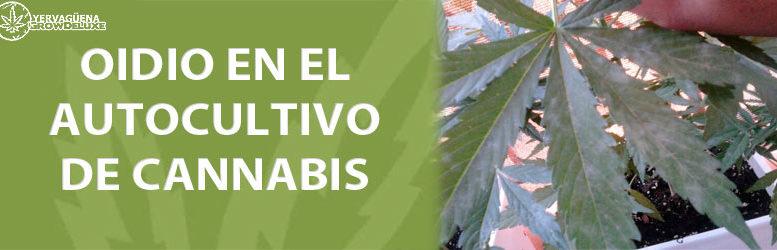 Oídio en el autocultivo de cannabis