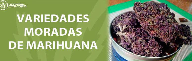 Cogollos de marihuana morada, ¡variedades purple que no conocías!