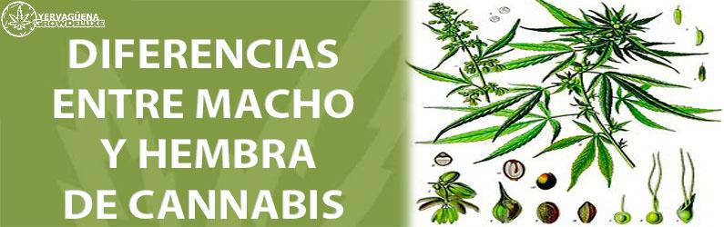 Marihuana macho o hembra, te enseñamos a diferenciarlas