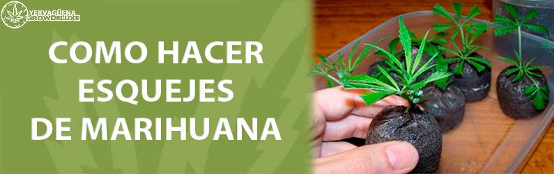 como esquejar marihuana