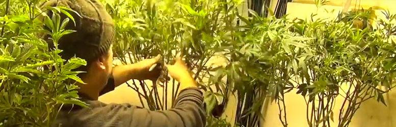 Podar marihuana, ¿por qué es tan importante?