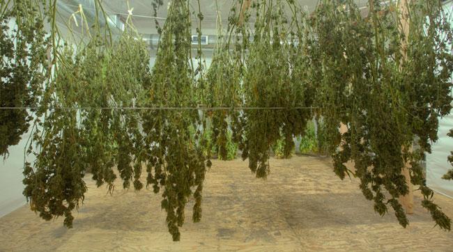 Cu nto tarda en crecer una planta de marihuana aqu for En cuanto tiempo se cosecha la tilapia