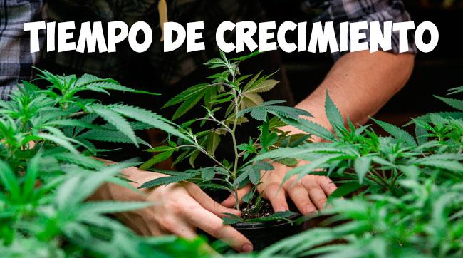 tiempo de crecimiento planta marihuana