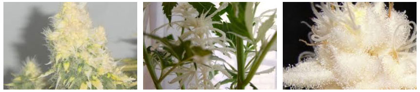 albino marijuana images
