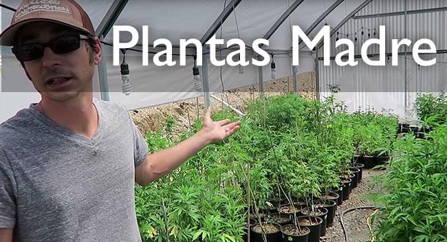 El cuidado de las plantas madre