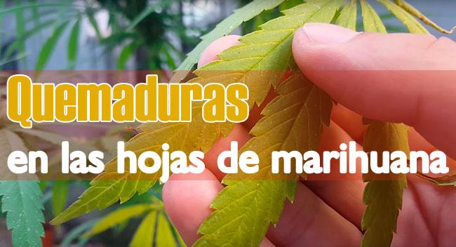 Quemaduras en las hojas de marihuana