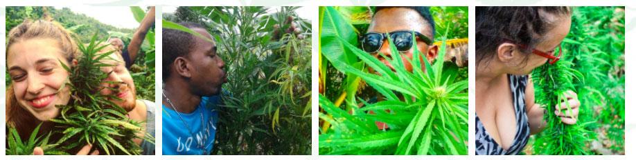 marihuana jamaica