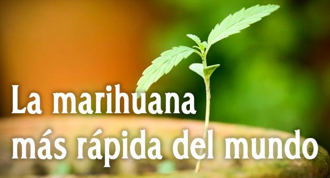 La marihuana más rápida del mundo