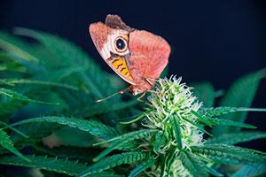 marijuana bud butterfly