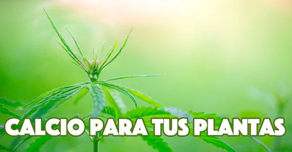 La importancia del calcio en las plantas de marihuana